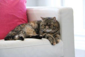 Exotic katt som ligger och vilar
