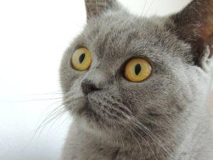 Brittisk korthår katt med gula ögon
