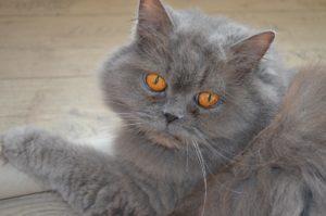 Brittisk långhår med gulröda ögon