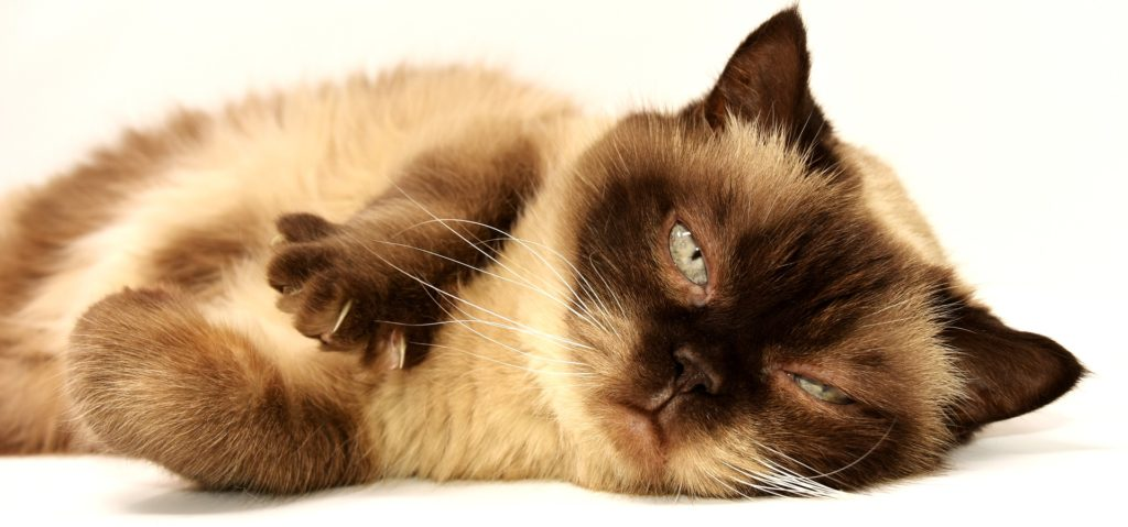 Kattungar: En av många brunmaskade kattungar.