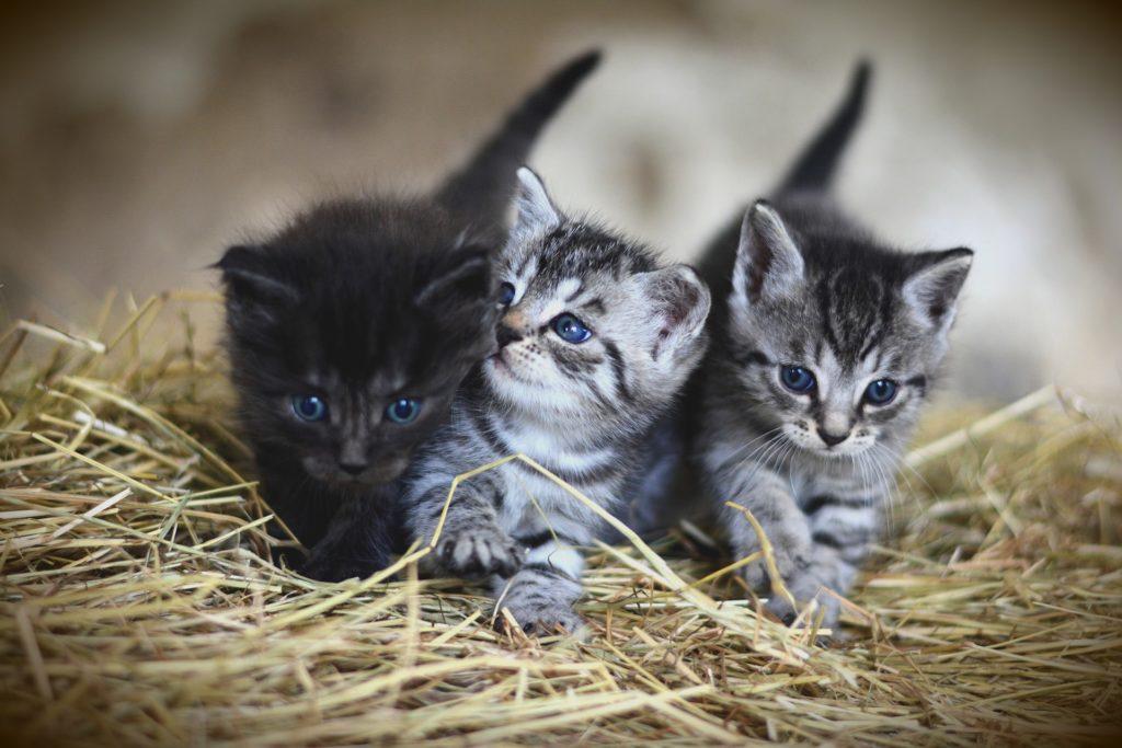Kattungar: Tre söta kattungar i en lada