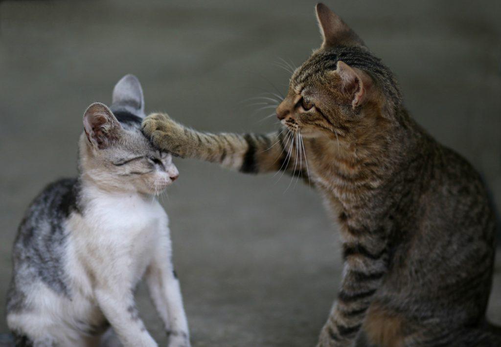 djuruppfödare två katter