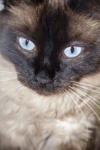 Balines kattunge myser