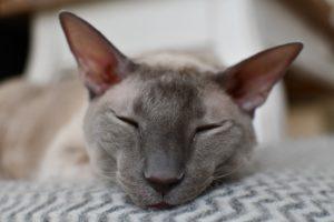 Cornish rex katt som sover