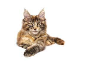 Maine coon kattunge i spräcklig brun färg.