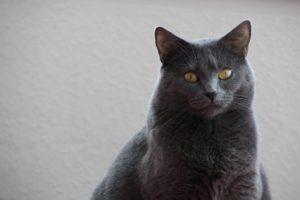 Chartreux katt en av de äldsta raserna.