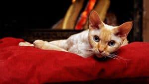Devon rex katt som vilar
