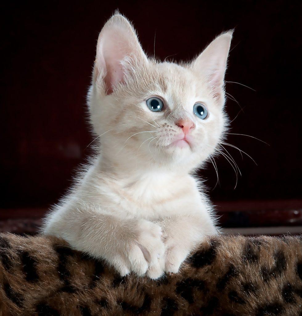 Kattförsäkring: Kattunge