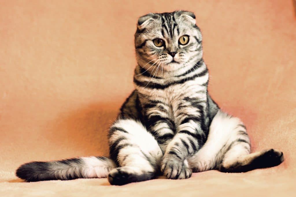 Svedea försäkrad katt