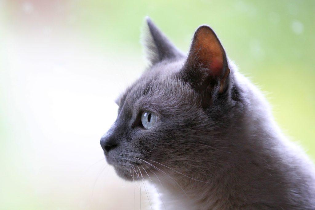 Kattraser kattunge i profil