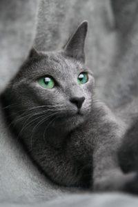 Russian blue katt med gröna ögon