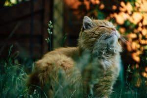 Sibirisk katt röd