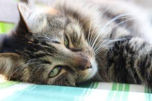 Sibirisk katt brunfärgad