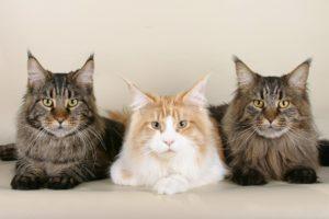Maine coon tre söta katter