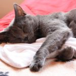 Chartreux katt grå