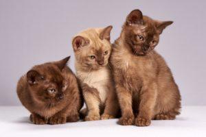 Burma kattunge