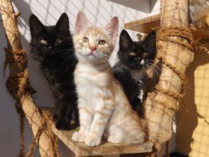 kurilean bobtail kattungar