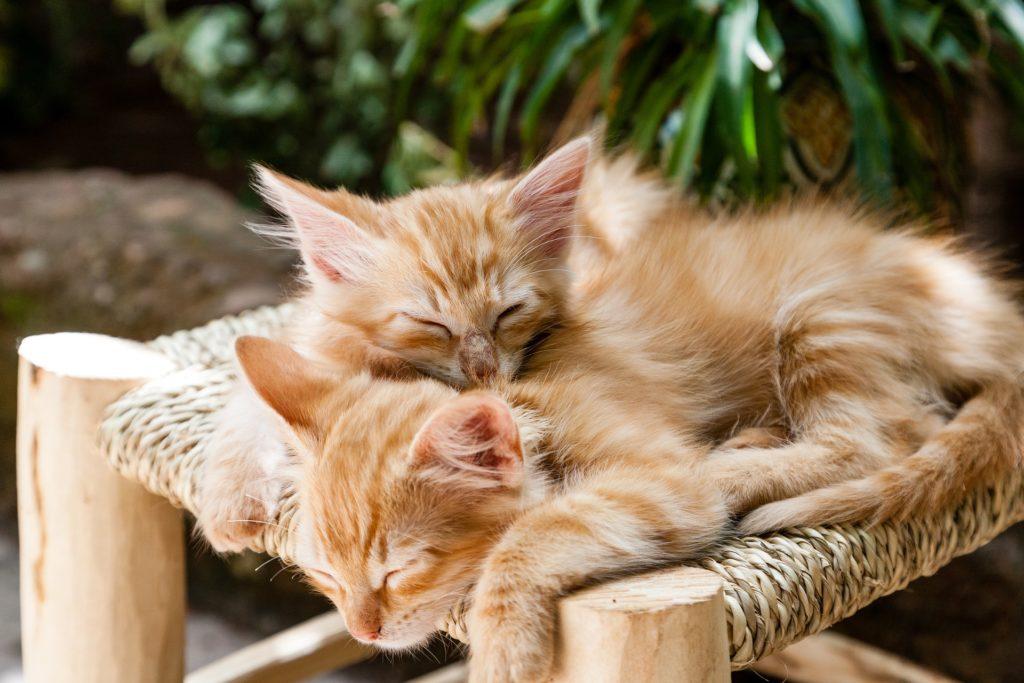 Två små kattungar som reser