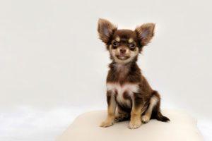 Chihuahua korthårig