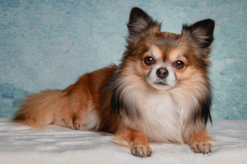Chihuahua långhårig