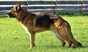 Schäferhund i profil