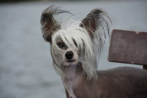 Chinese crested dog nakenhund