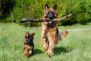 Schäfer hundvalp och fullvuxen