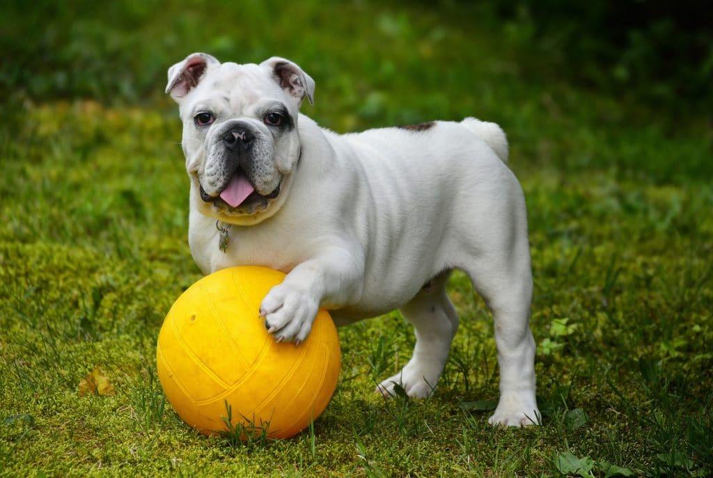 Försäkrad Engelsk bulldog