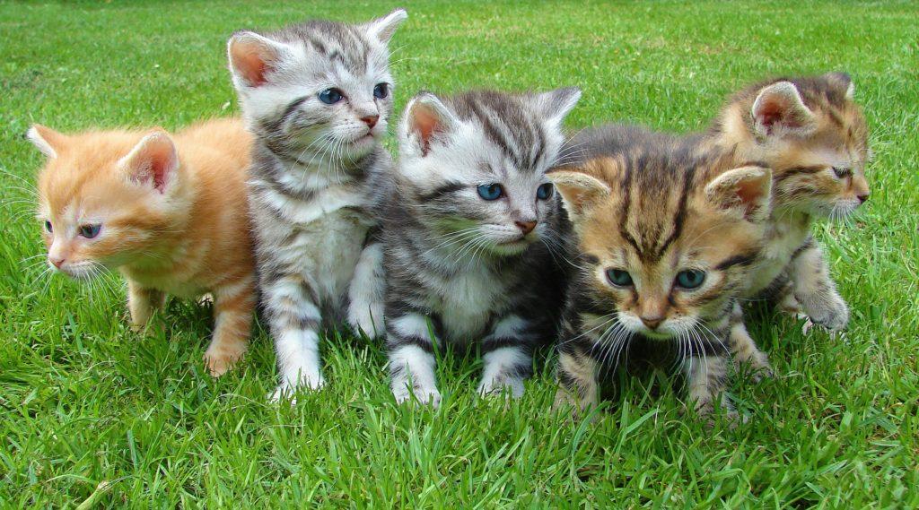 Kattförsäkring: kattungar