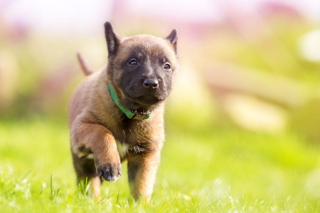 Hundförsäkring: Hundvalp leker