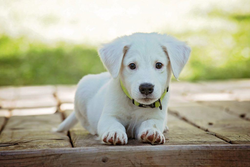 ICA hundförsäkring: Hundvalp