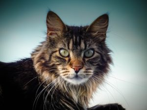 Main coon katt