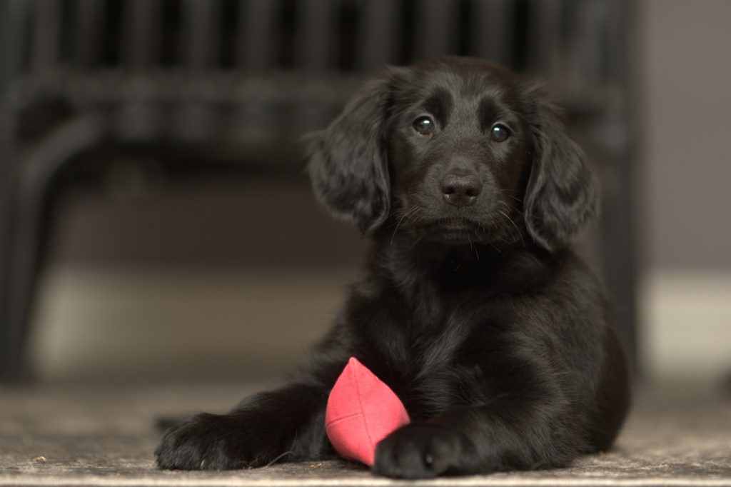 flatcoated retriever hundvalp